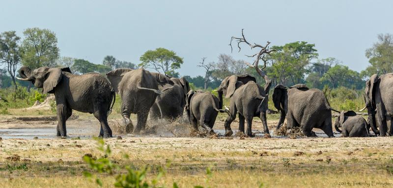 Elephant at Little Makalolo Water Hole