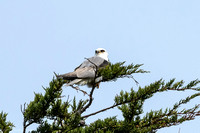 White Tailed Kite