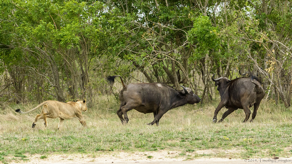 Lions Stalking Cape Buffalo