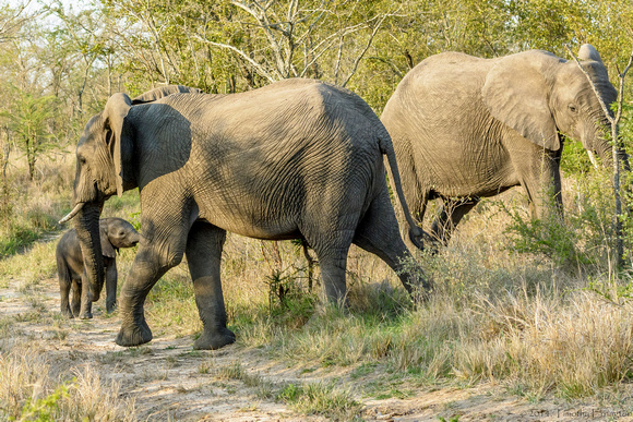 Elephant Females with Offspring